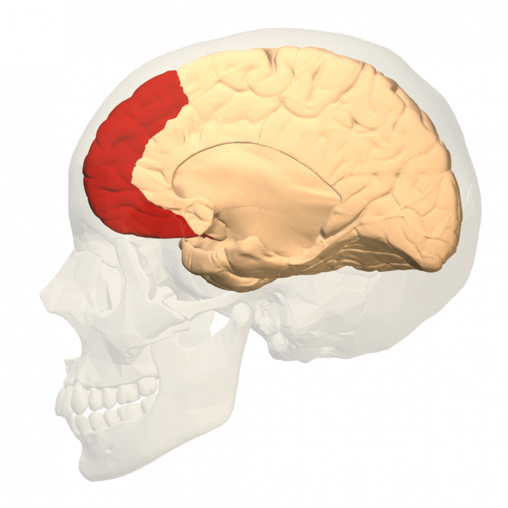 This graphic shows the prefrontal cortex highlighted in red. The area of the brain is associated with self-control and regulating emotions Wikimedia Commons/National Database Center for Life Science