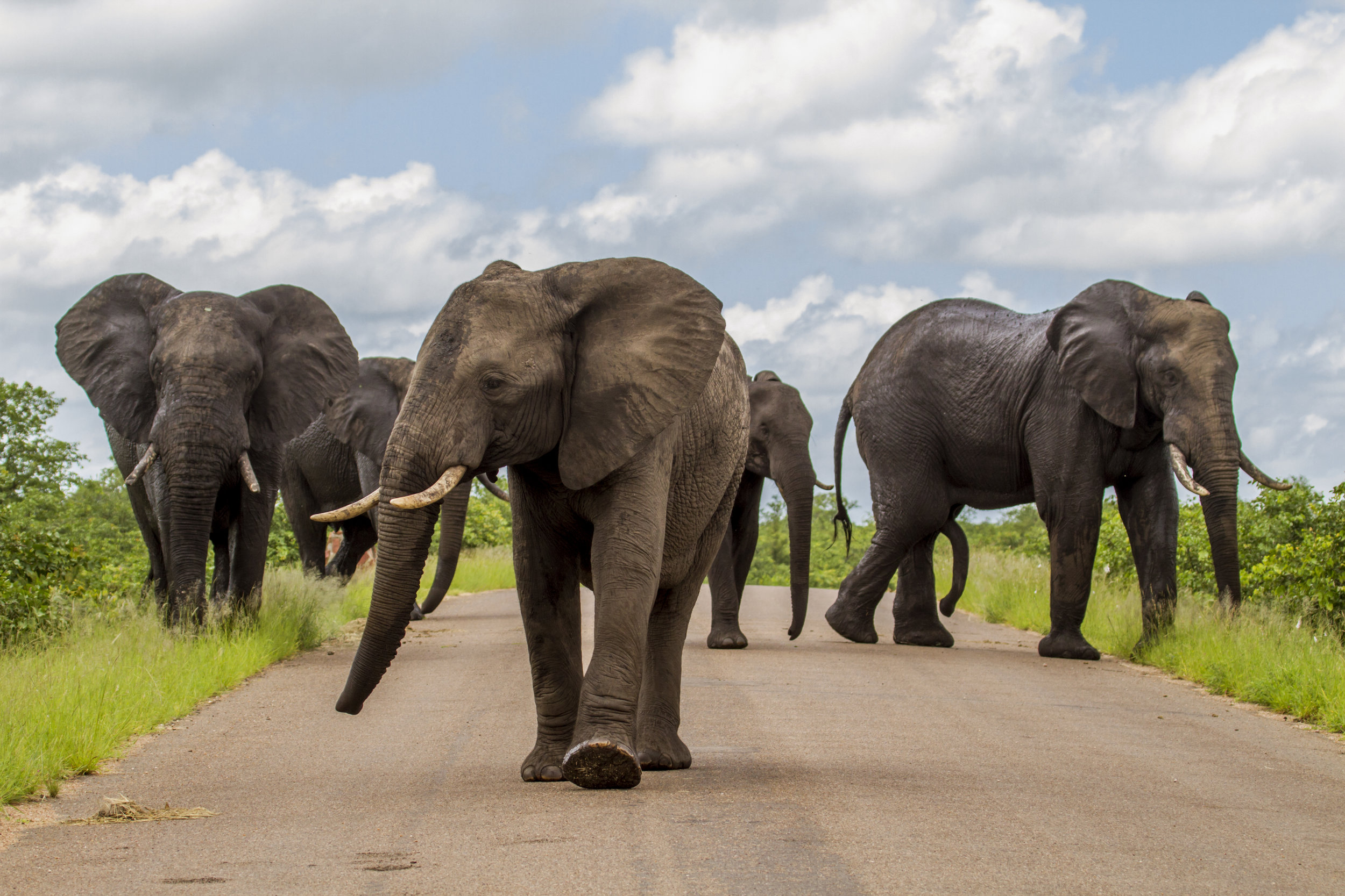 herd-of-african-bush-elephants-on-the-road-in-Kruger-park-838476676_5184x3456.jpeg