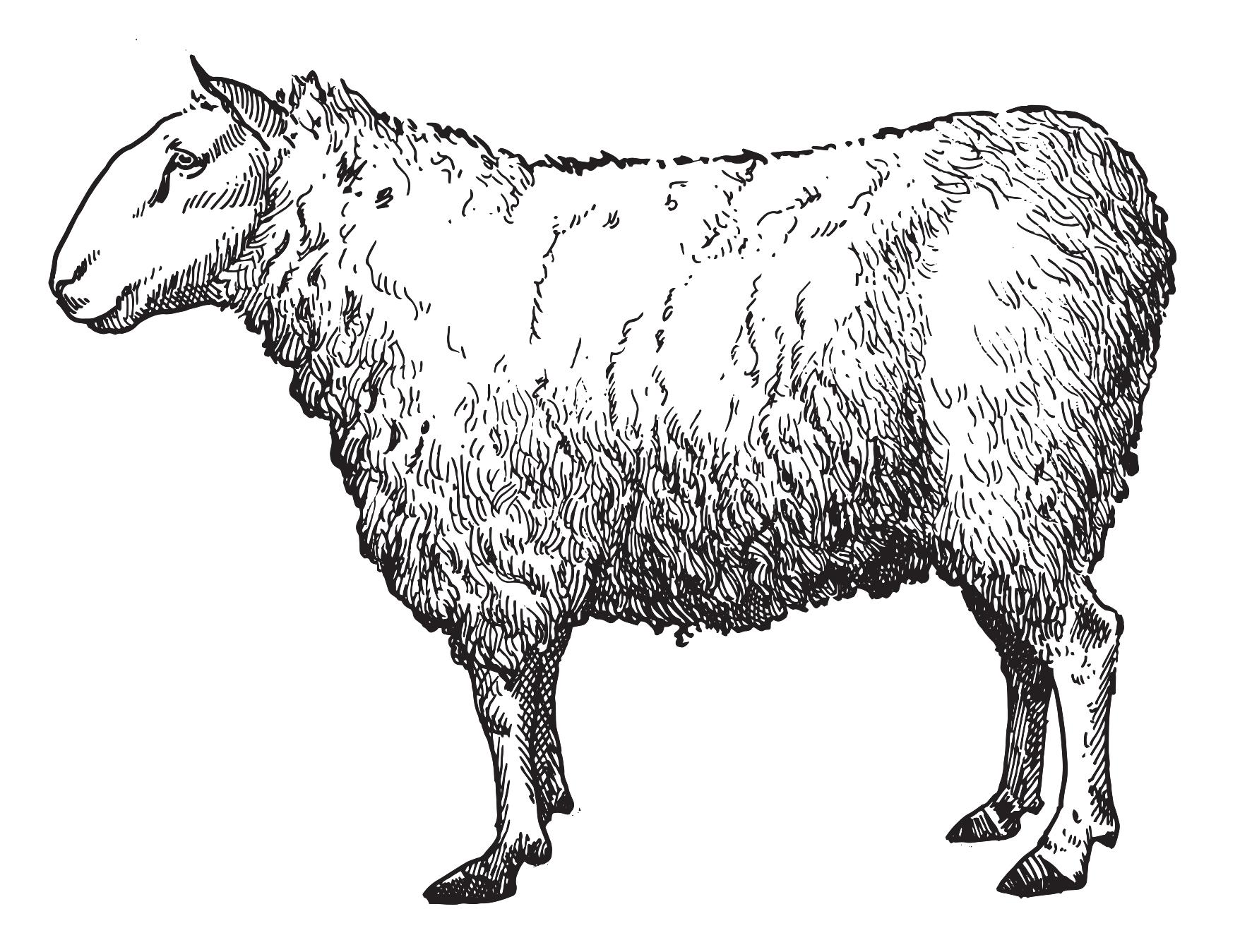 vect_sheep.jpg.png