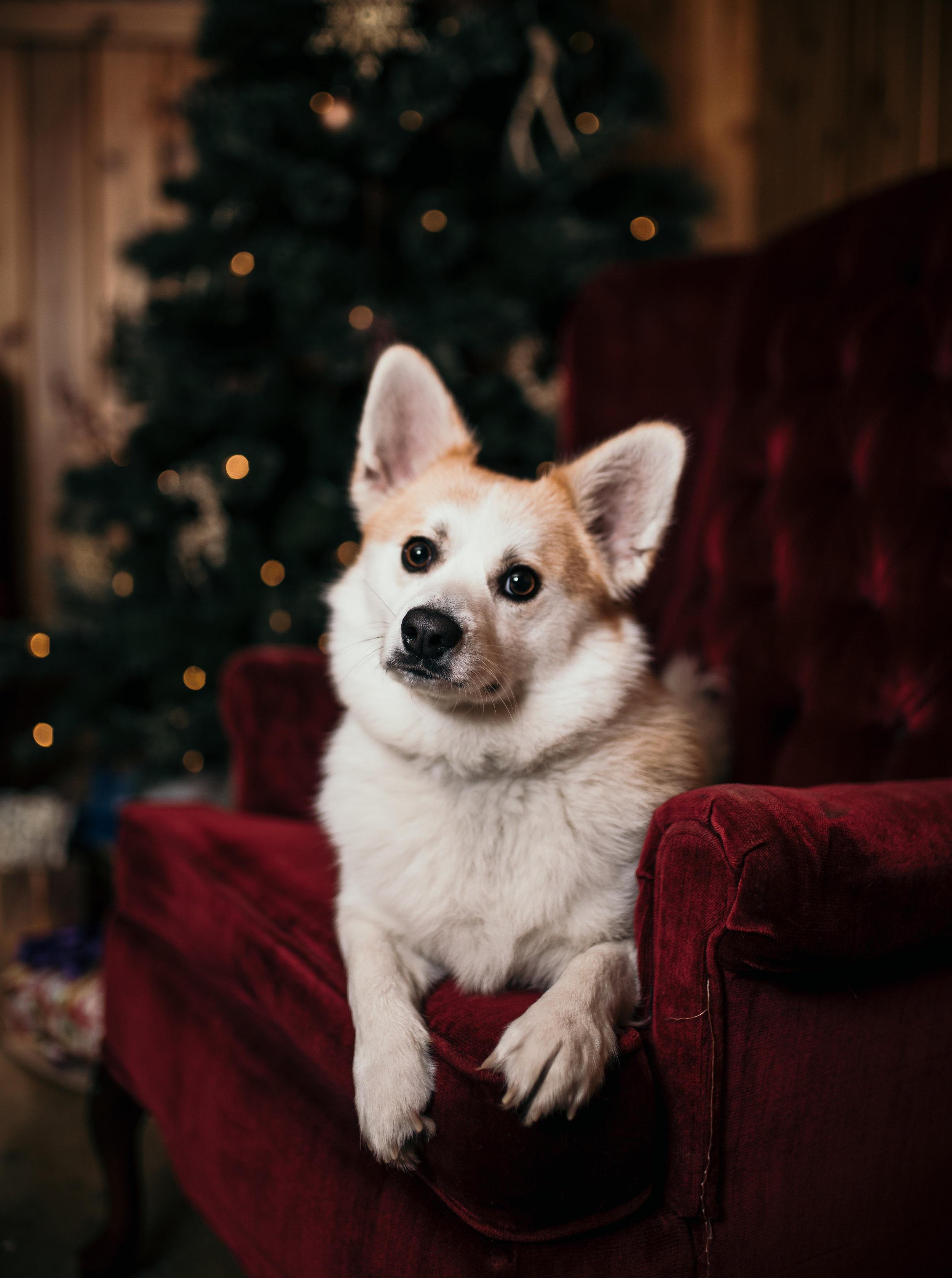christmas-photoshoot-corgi-dog.jpg