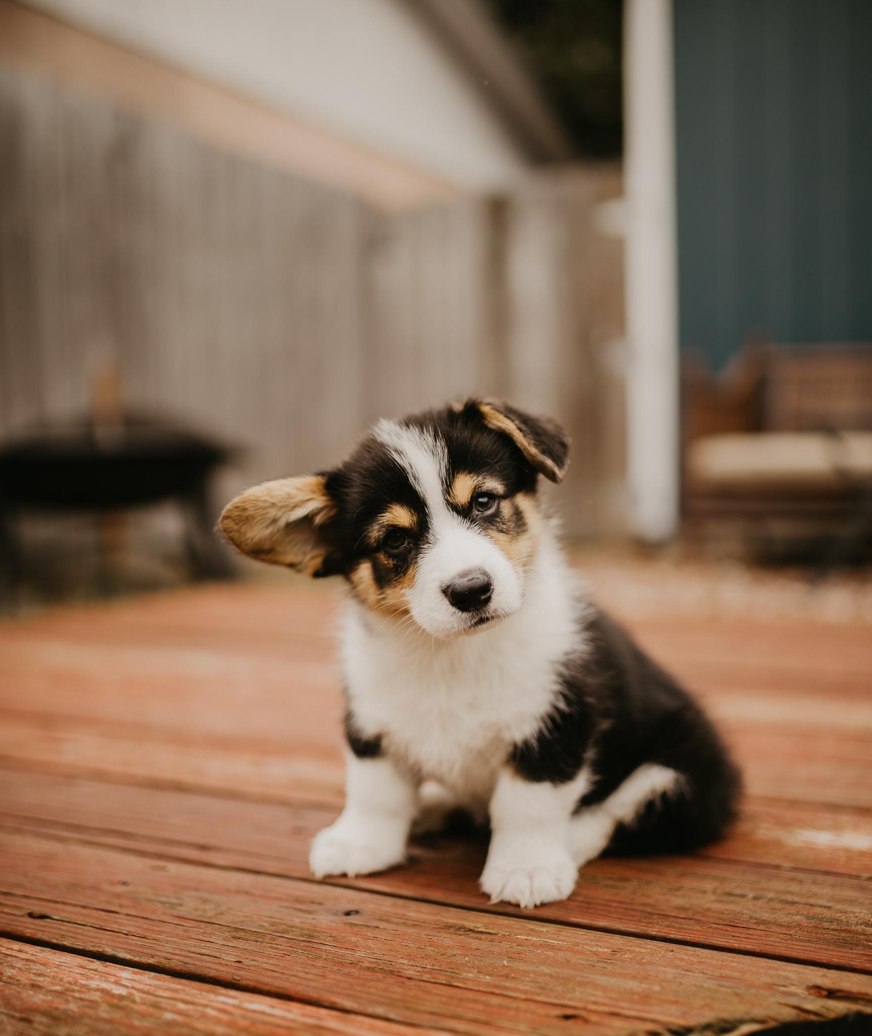 Corgi-Puppy-Spokane-Washington.jpg