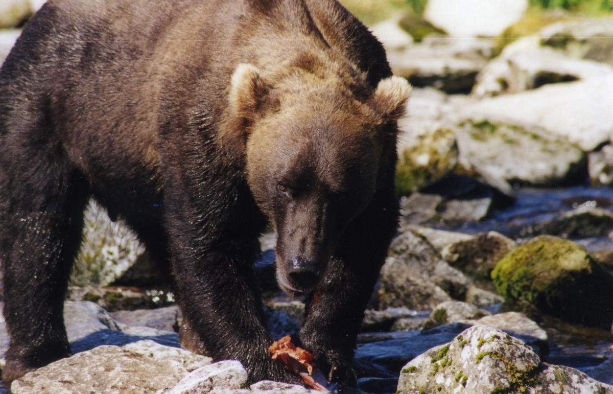 Coastal brown bear feeding on salmon in Katmai National Park, Alaska, where I worked on a study of bear-human interactions for the National Park Service (1998; photo by Deb).
