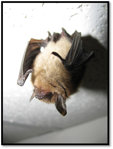 The northern long-eared bat was recently listed as threatened under the Endangered Species Act and is known to use bat roost boxes (photo: Jomegat).