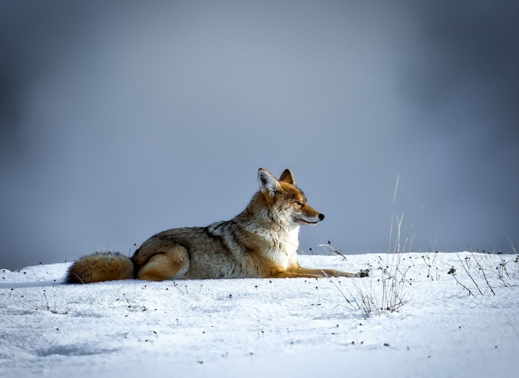 "Coyotes are considered a ""keystone species"" because they have a disproportionately large effect in the natural community, compared to other species."