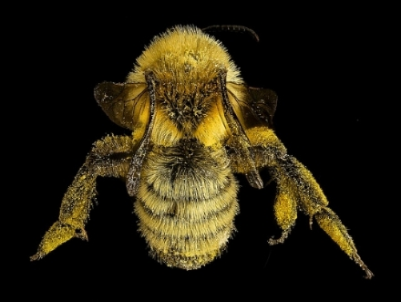 A mining bee (Andrenid) collected on goldenrod in Maine. Note the abundance of pollen over the hairy body of the entire bee (photo: USGS bee inventory on Flickr).