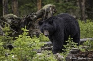 Black bear picture for newsletter.jpg