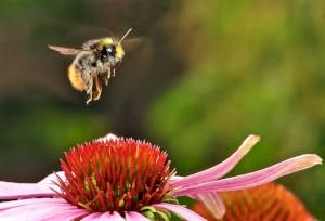 bumblebee-951083_1920.jpg