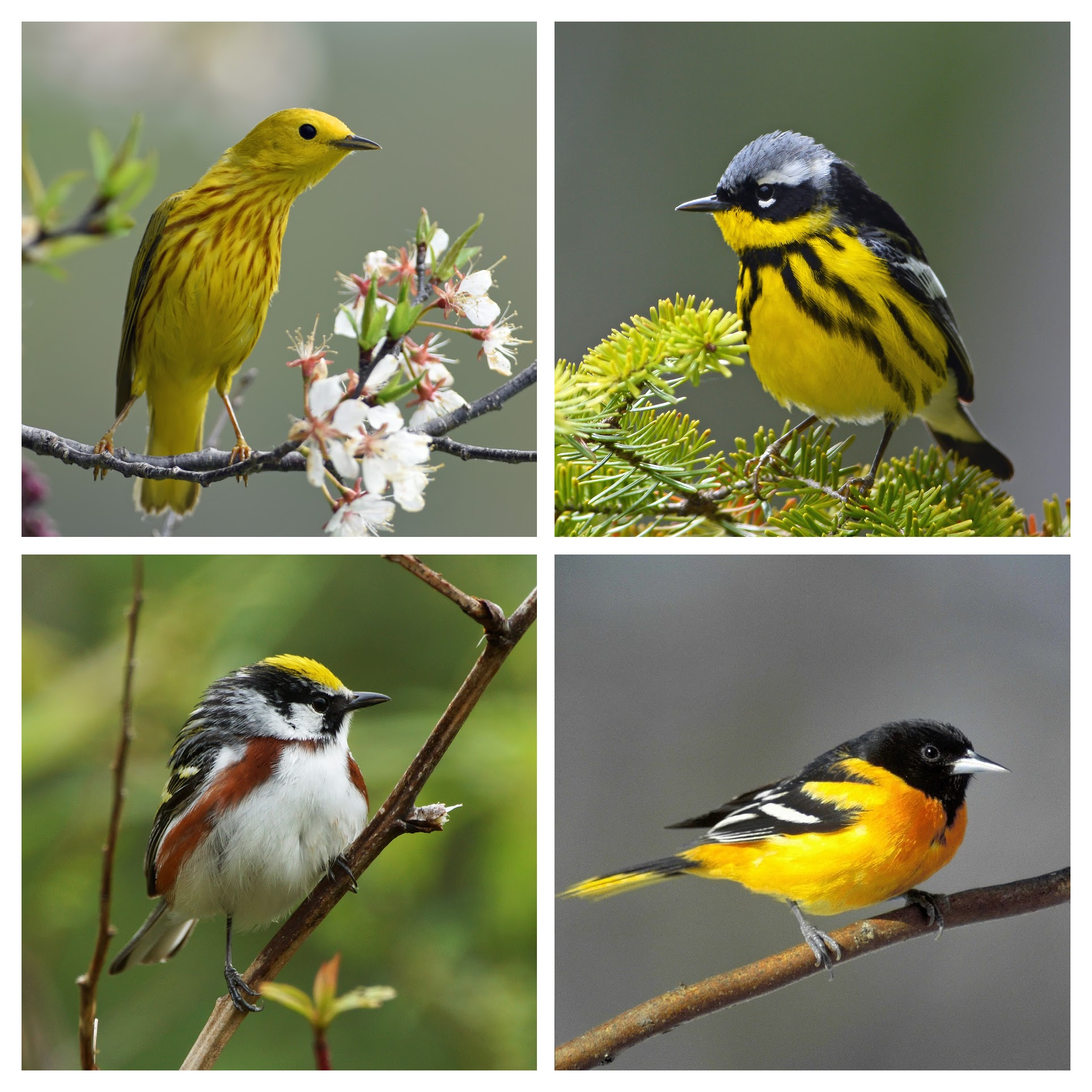 Bird Friendly® coffee plantations provide quality habitat for the Yellow Warbler (upper left), Magnolia Warbler (upper right), Chestnut-sided Warbler (lower left) and Baltimore Oriole (lower right) on their wintering grounds. Warbler photos by  Doug Gimler ; oriole photo - Pixabay.