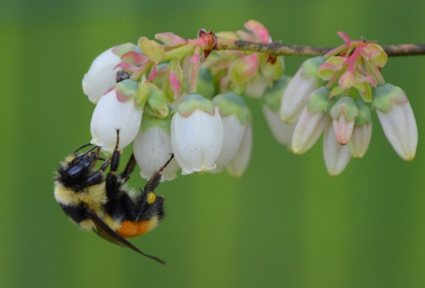 Tri-colored/orange-belted bumble bee  (Bombus ternarius)  on blueberry blossoms. This species is one of 17 bumble bee species we have in Maine. Photo: Sheila Wakefield of  Sheila's Maine .