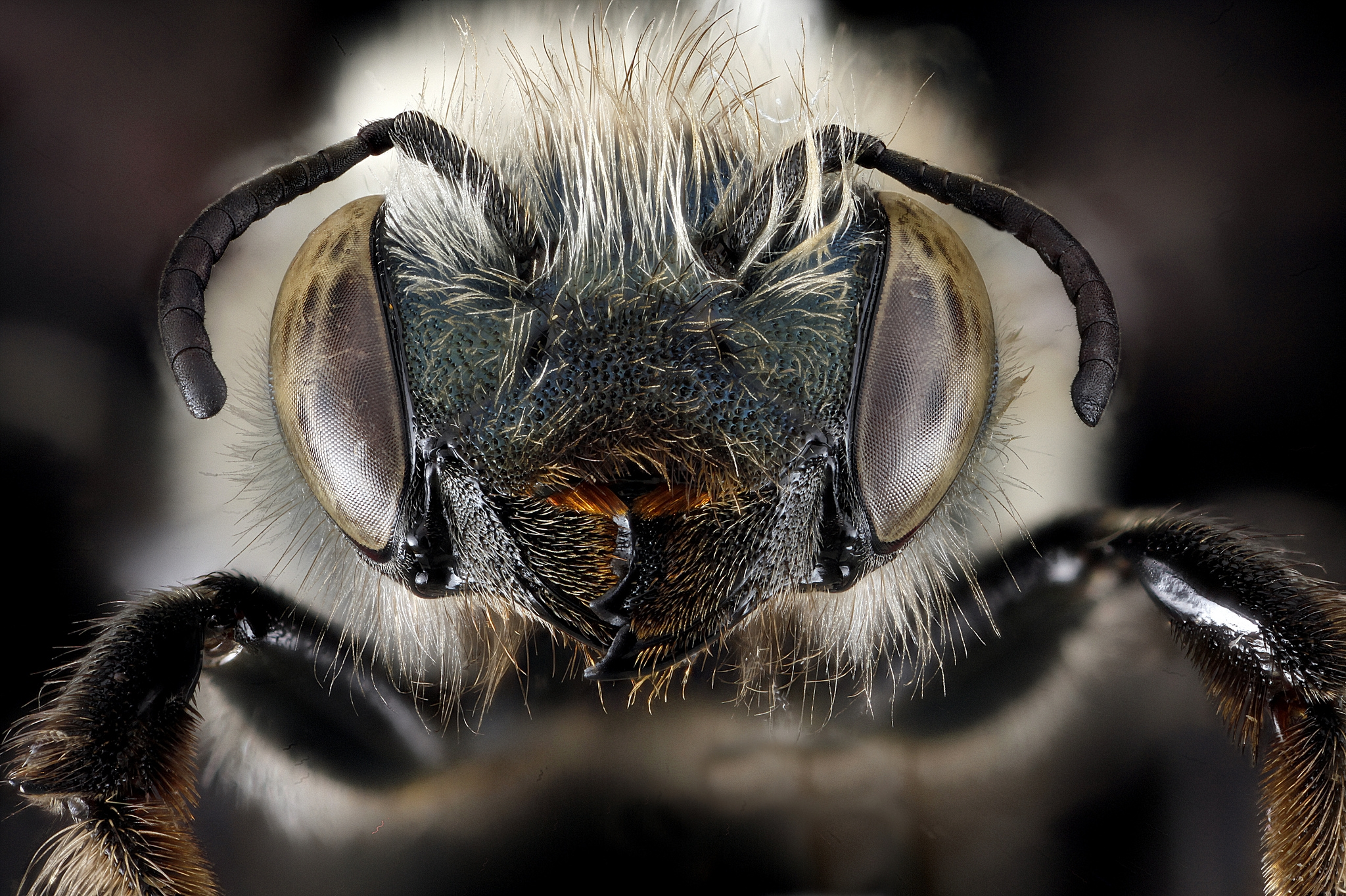 A mason bee ( Osmia simillima ), collected in Acadia National Park, Maine. Bees in the genus  Osmia  are one our most economically significant native bees because of their pollinator services to orchards and other crops. See more of the USGS Bee Inventory and Monitoring Lab's images  here.