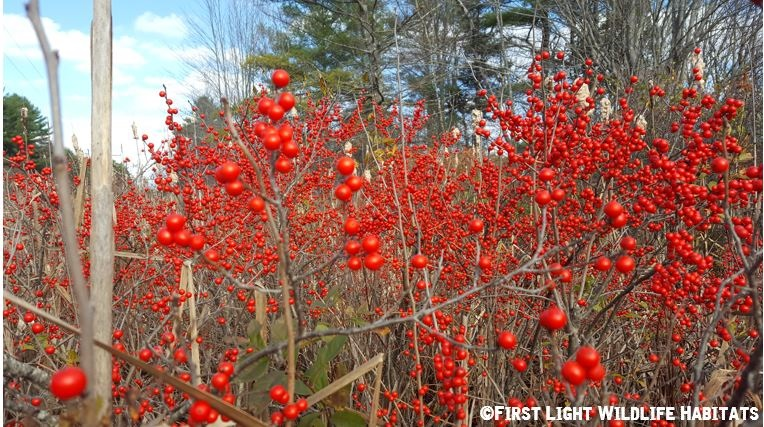 Winterberry exploding with color on a powerline in Cumberland, Maine.