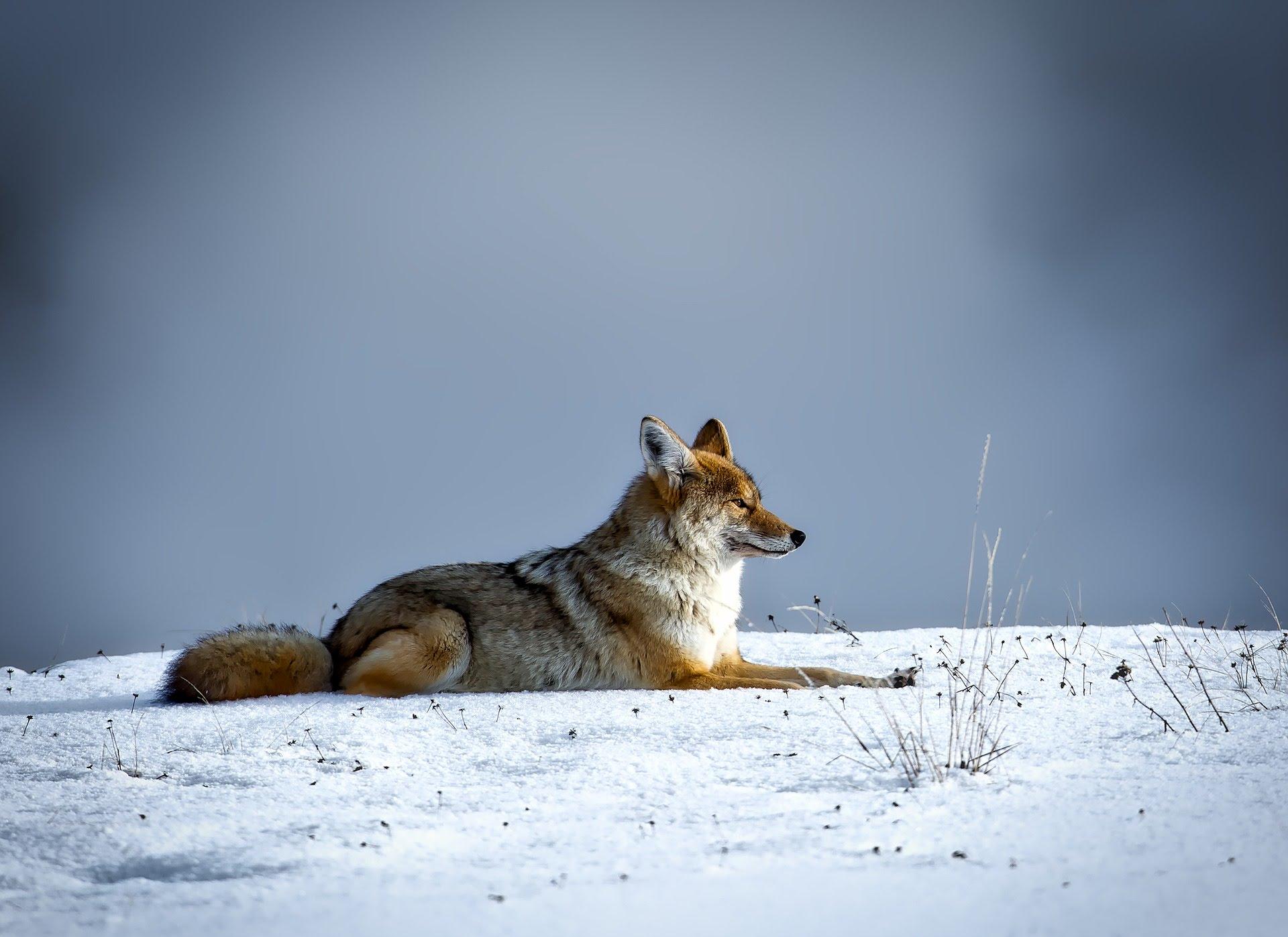 Pixabay Coyote YNP 1201910279 .jpg