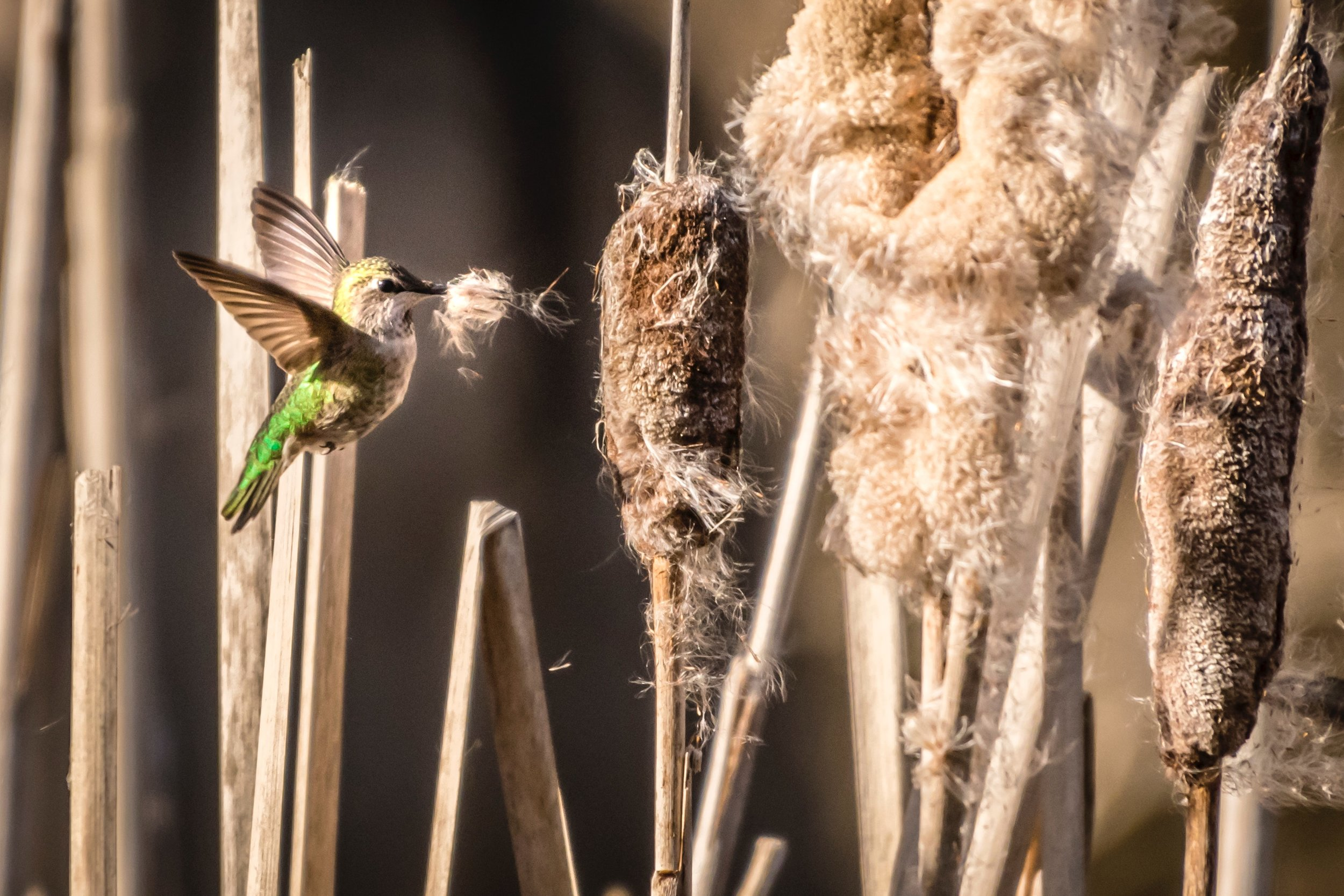 faye-cornish-Hummingbird-unsplash.jpg
