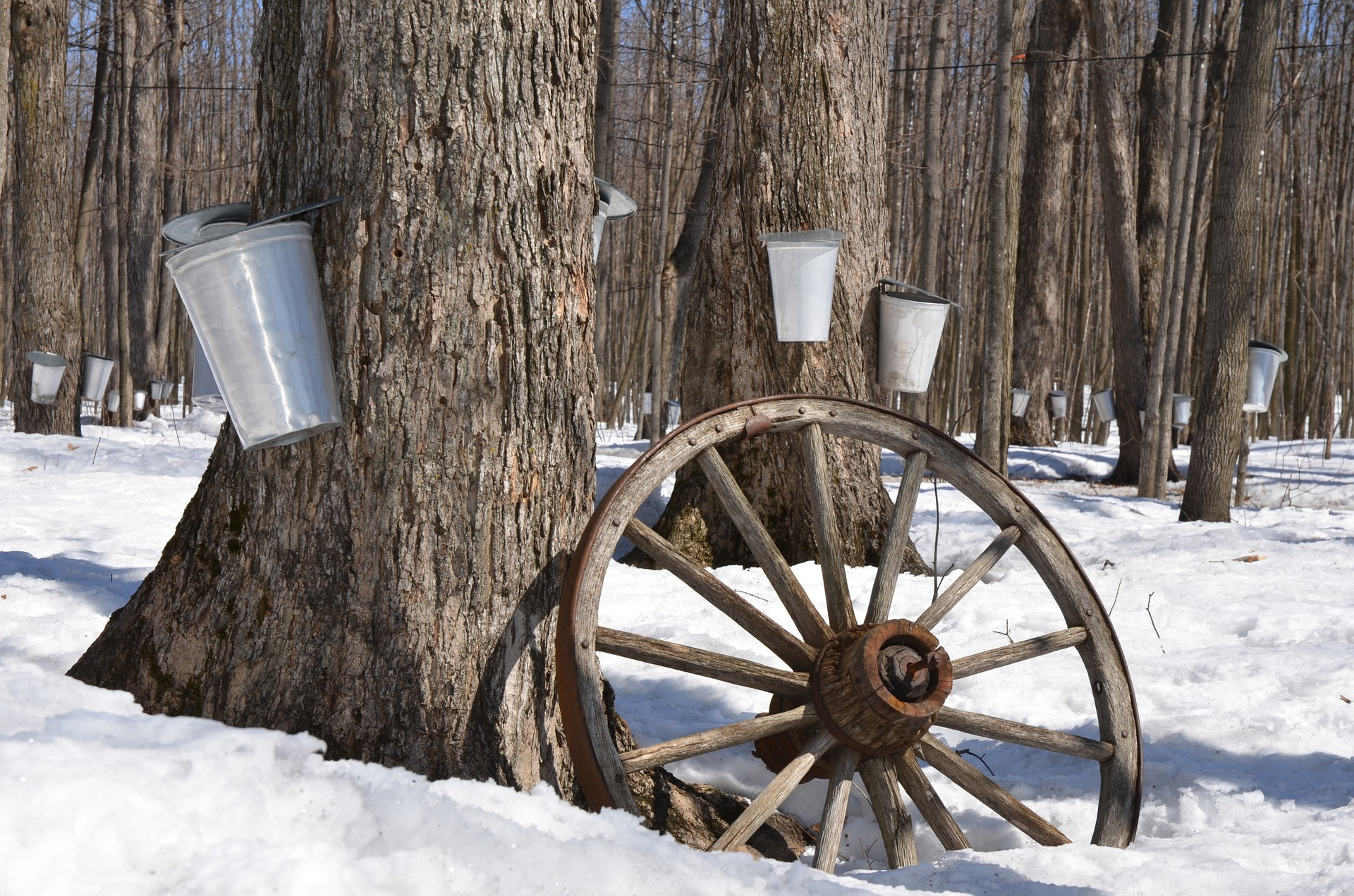 sap buckets on maple trees (diapicard/Pixabay)
