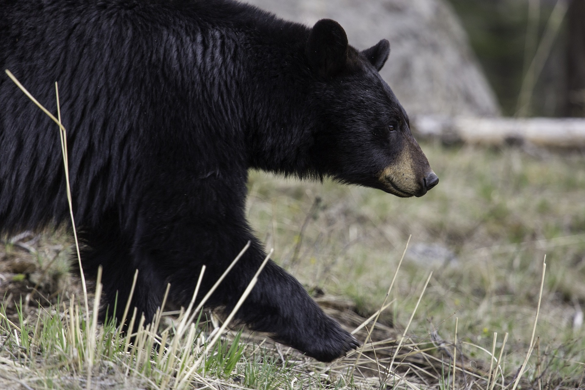 Black Bear ( Ursus americanus;  skeeze/Pixabay).