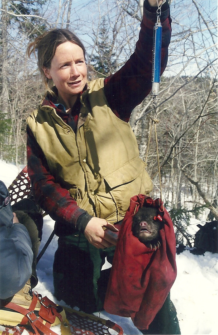 Deb weighing bear cub in northern Maine (2000)