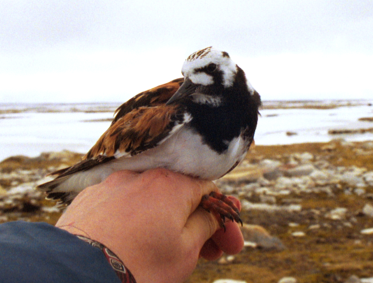 Deb's first captured Ruddy Turnstone in the Arctic (2002).