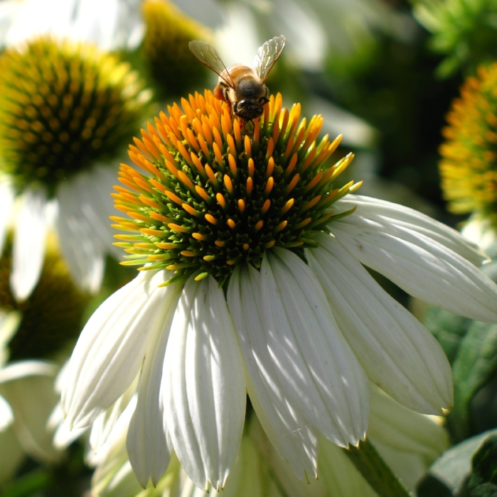 Echinacea and Bee: photo by Emilyn