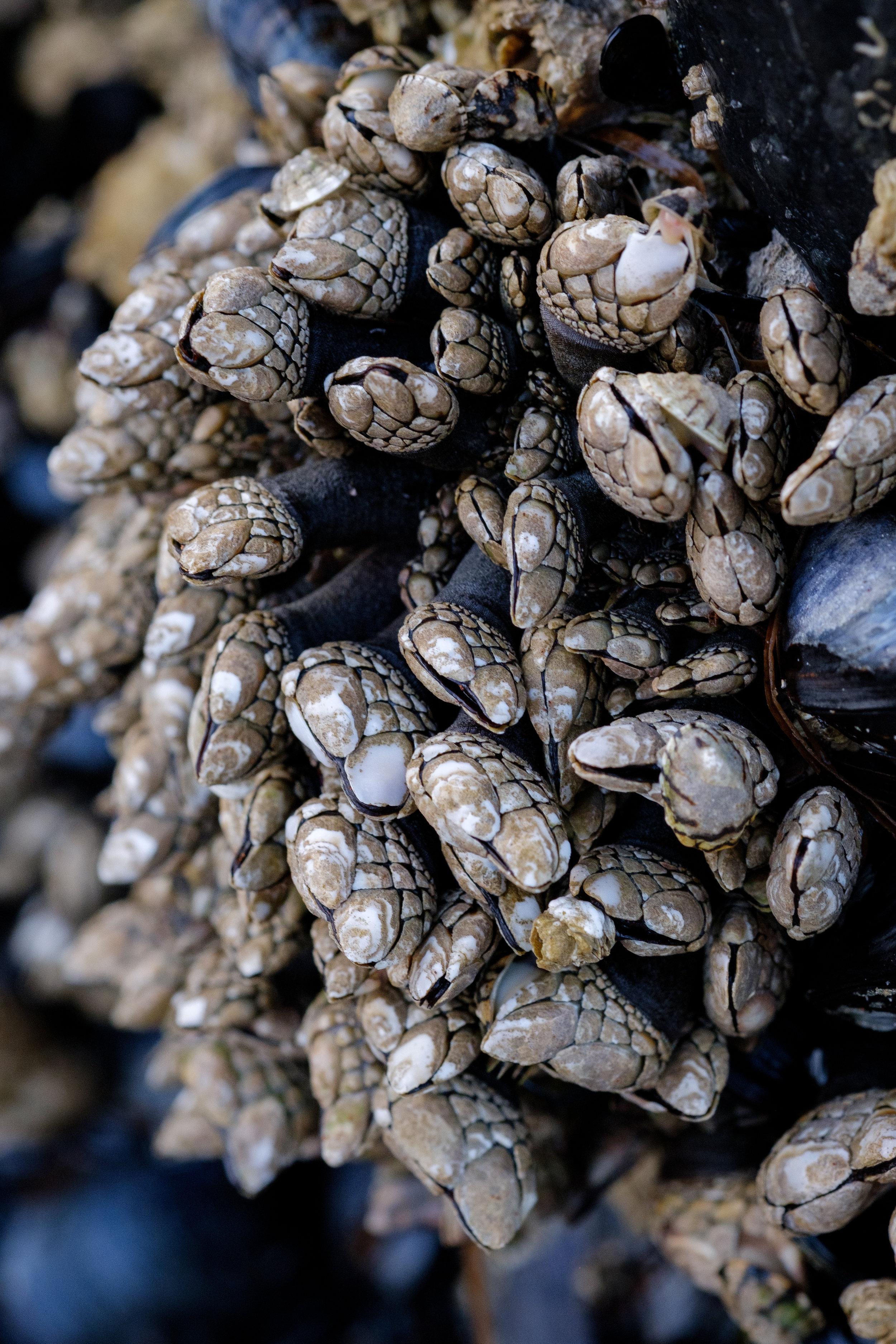 Gooseneck barnacles near Frank Island