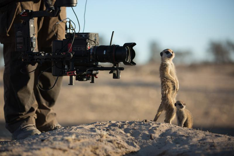 Cameraman Tom Walker uses a gyro-stabilized camera to film meerkats (Suricata suricatta) in the Kalahari Desert. The meerkats are being studied as part of a long-term university project and have becoming completely used to seeing human beings. To a meerkat habituated in this way, a human being is no more a threat than a tree or bush. Working alongside scientists, the crew were able to get intimate, close-up shots of these meerkats, despite them being completely wild. (National Geographic/Holly Harrison)