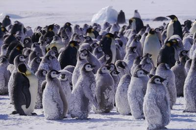 Chicks creche, waiting for their parents to return with food at the Cape Washington Emperor Penguin colony.(National Geographic/Tanja Bayer)