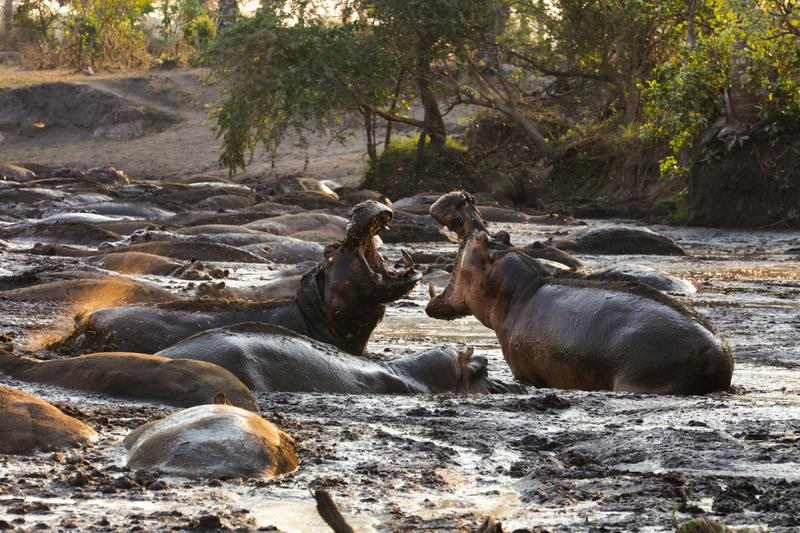 TANZANIA - 2 bull hippos fight for space in Katavi National Park. During the dry season, their pool of water shrinks and fights break out as the hippos are forced closer and closer together. (National Geographic/Tom Greenhalgh)