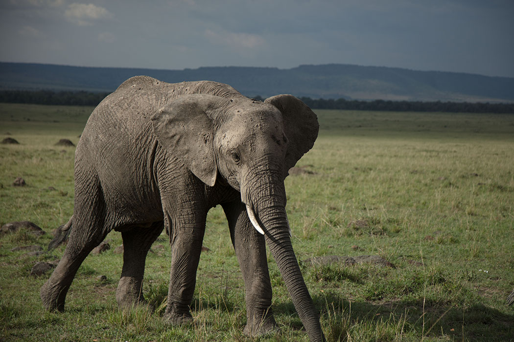KENYA - African bull elephant searches for a mate in Amboseli National Park. It's been attracted by the scent of a female in oestrous. (National Geographic/Tom Greenhalgh)