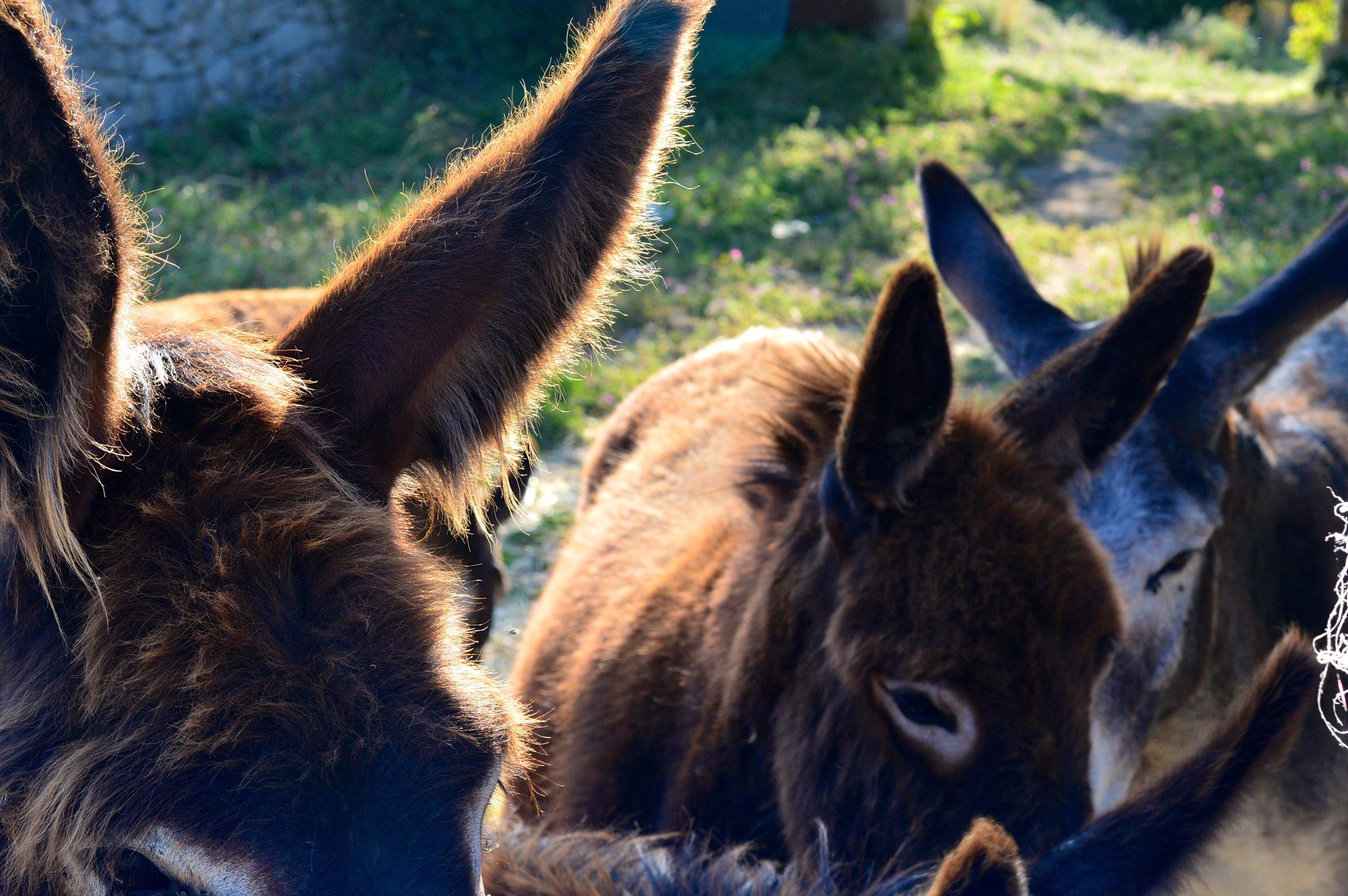 Donkeys in Sicily