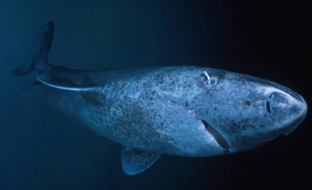 A Copepod clings to the eye of a Greenland Shark.