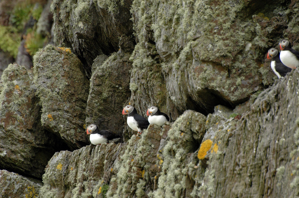 Puffins on Skellig Michael  (Photo by  Maureen )