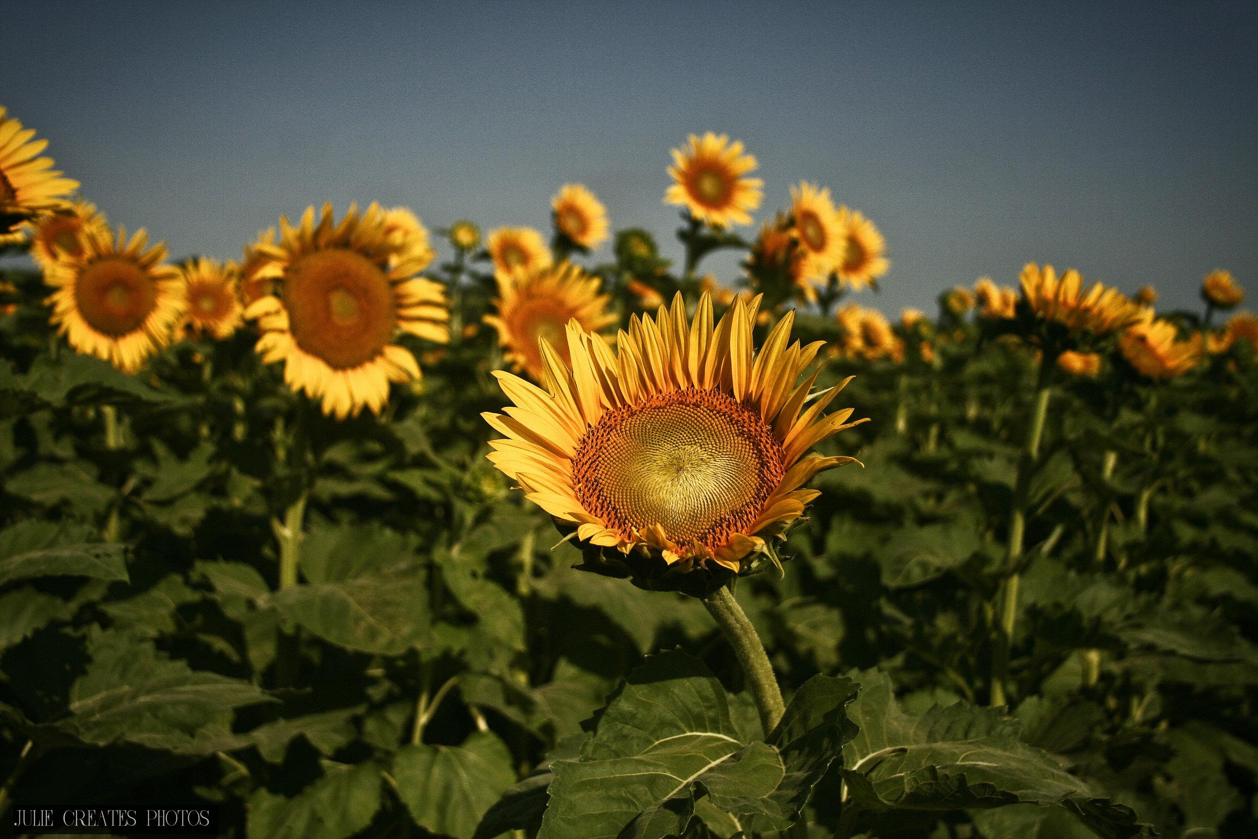 Sunflowers5.jpg