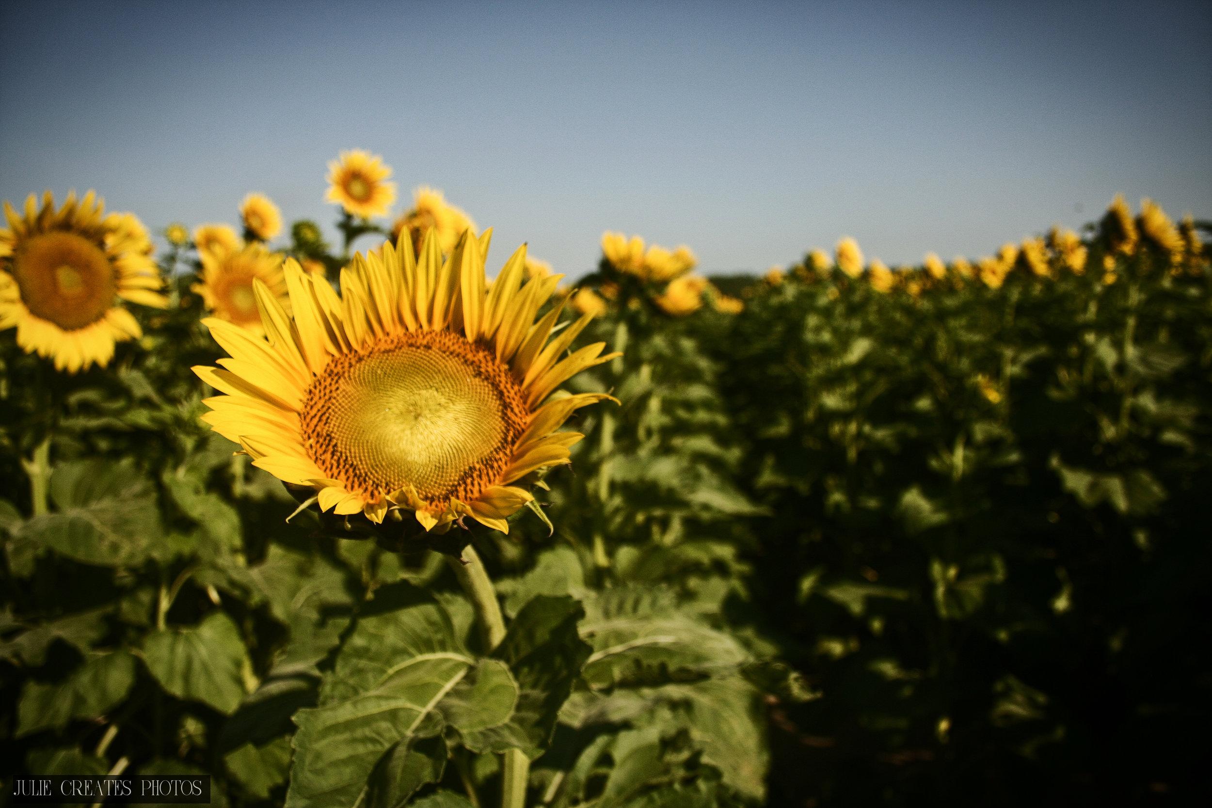 Sunflowers6.jpg