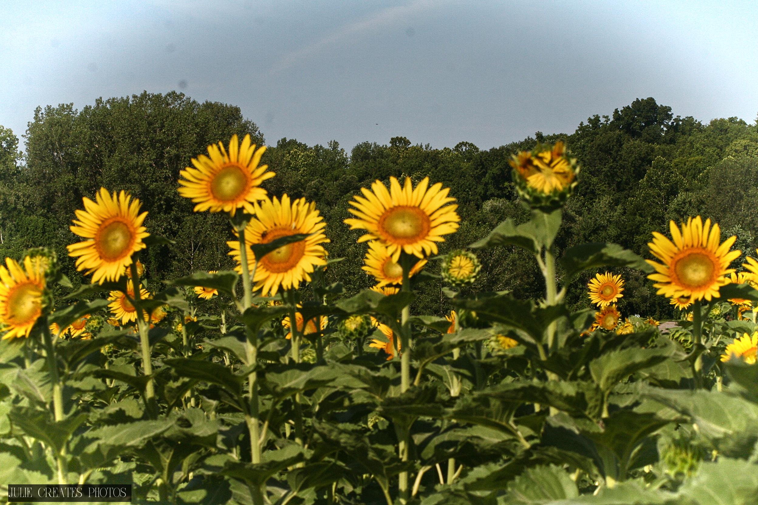 Sunflowers7.jpg
