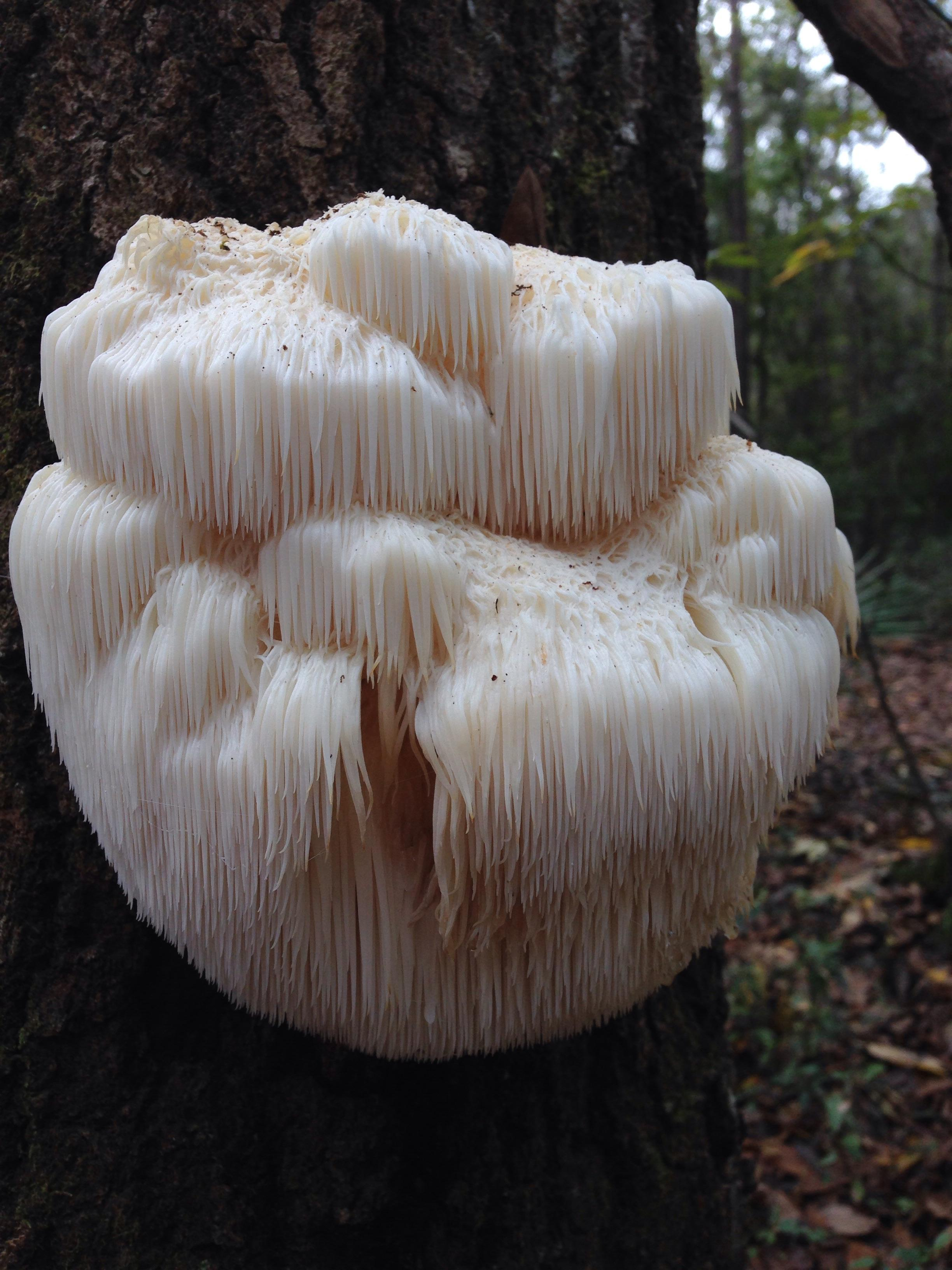The Lion's Mane mushroom is a great edible for beginner mushroom foraging. There is no close look-aiike and they are delicious! They can range from the size of a golf ball to larger than a basketball! Look up in oak trees during the Fall and Winter.