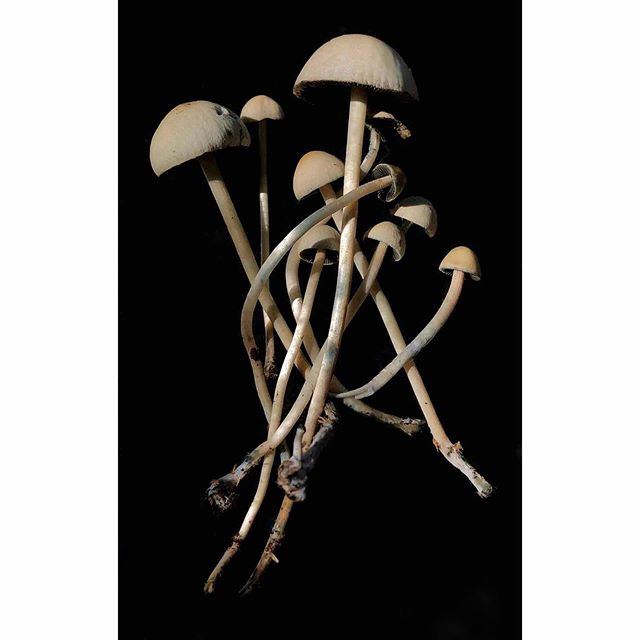 Panaeolus/Copelandia cyanescens. These are potent producers of psilocybin!  #mushrooms #mushroom #fungus #fungi #mycology #georgia #nature #psychedelic #magicmushroom #panaeolus #copelandia #bluemeanie #blue #beautiful #dung #coprophagia