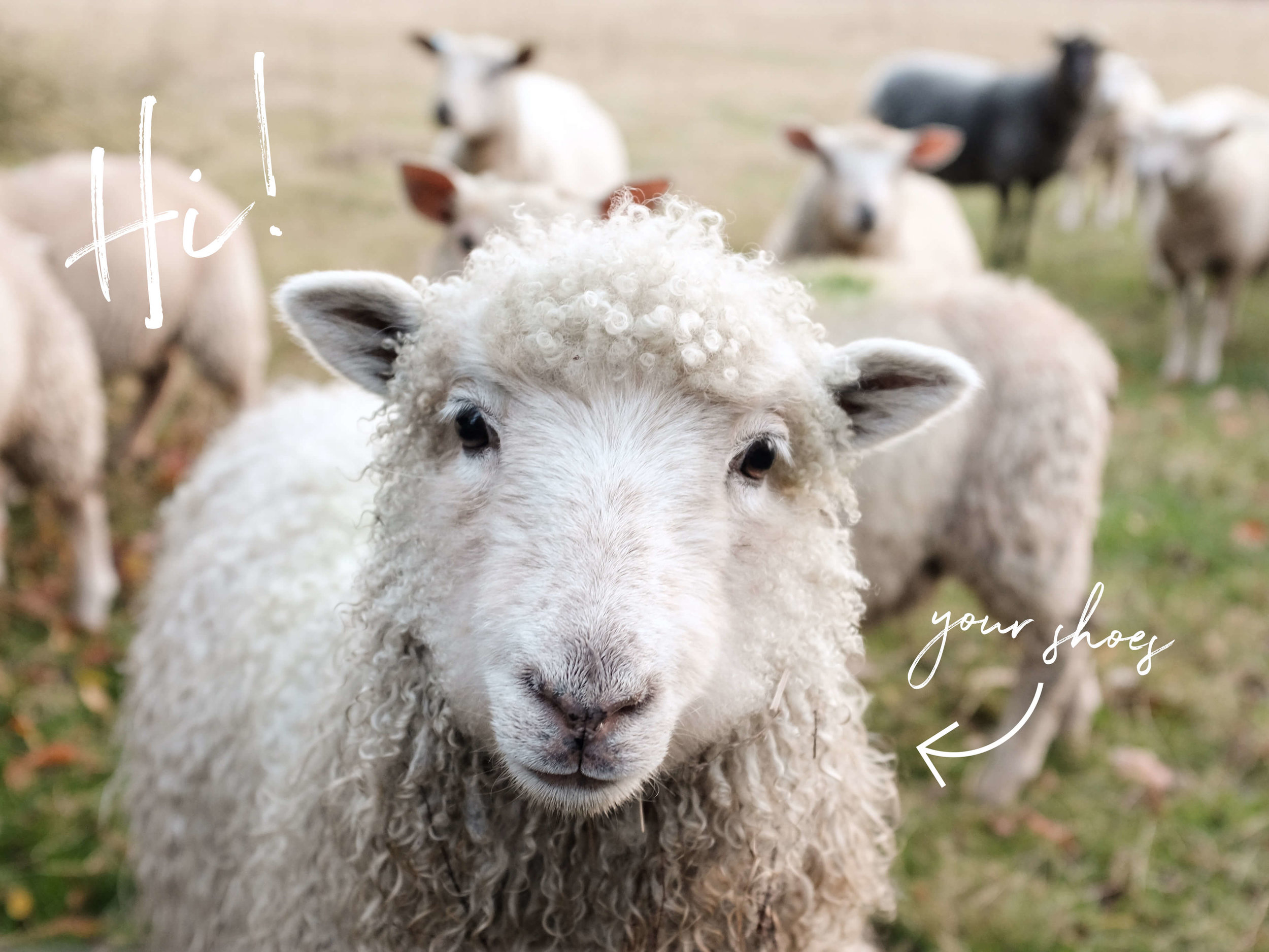 soft sheep allbirds