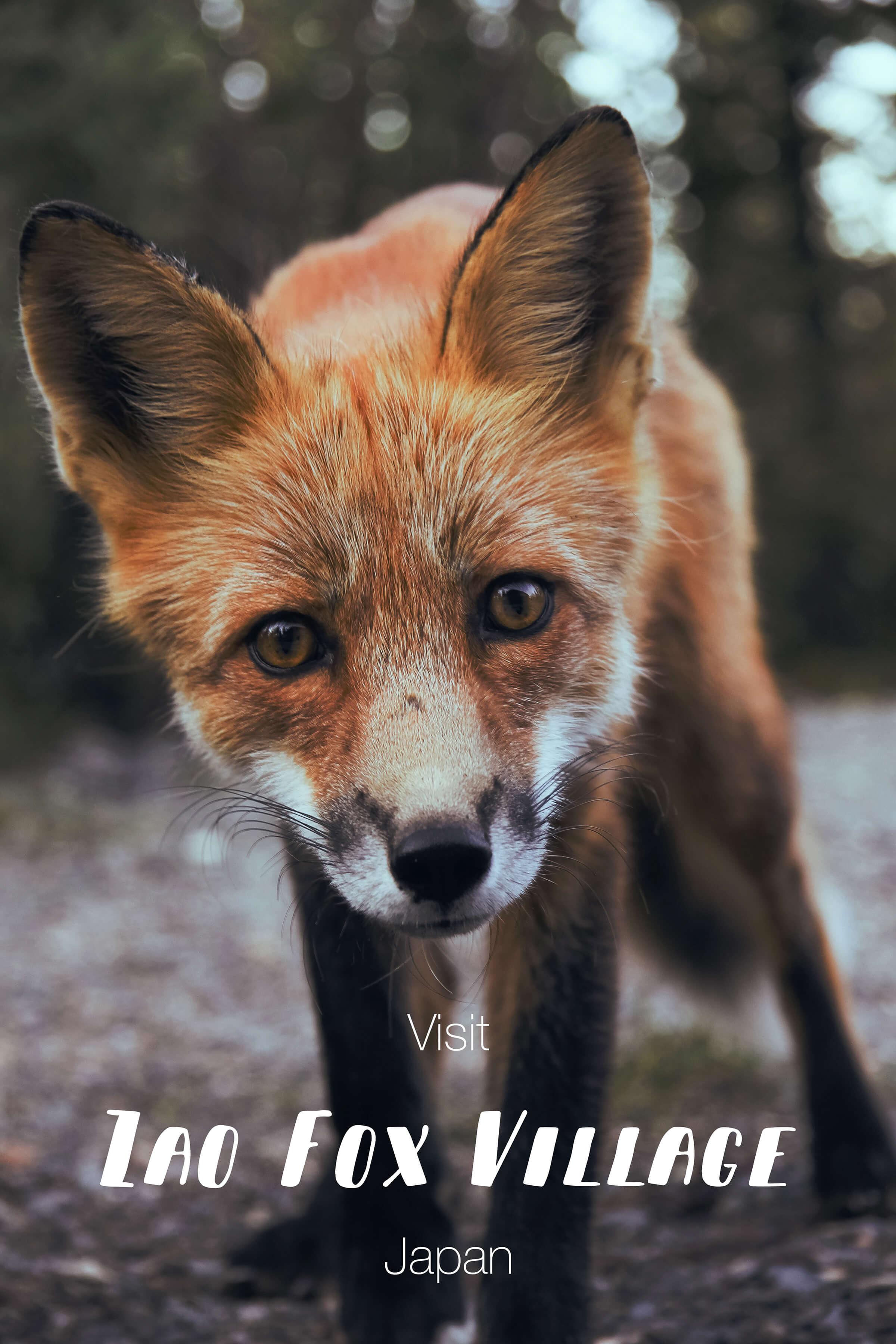 Zao-fox-village-japan.jpg
