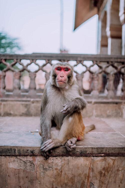 Galata Ji Monkey