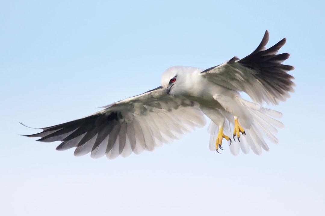 Black Shouldered Kite.