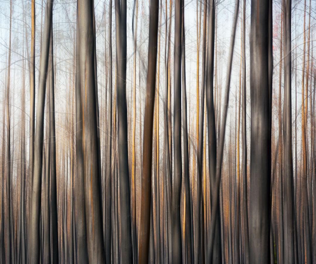 Yarloop Burnt Tree Abstract.