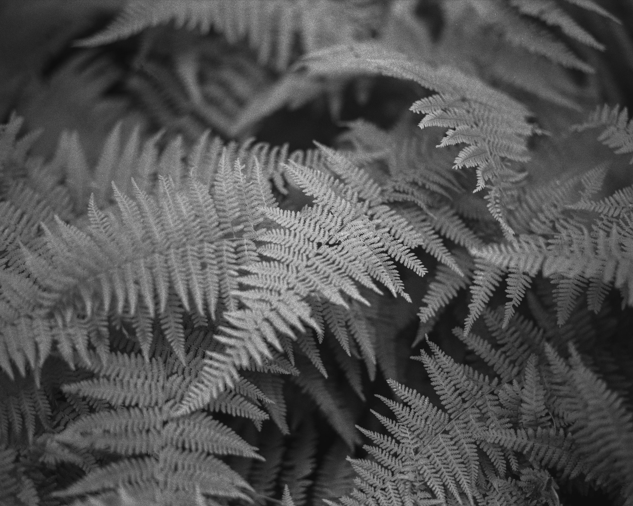 A black and white photograph created by fine artist Cody Schultz with his Pentax 67 medium format film camera using Ilford HP5+ film. This photograph is of a cluster of ferns found in northern Pennsylvania. The focus - while not pin-sharp - allows for a dreamy feeling without it being overdone.