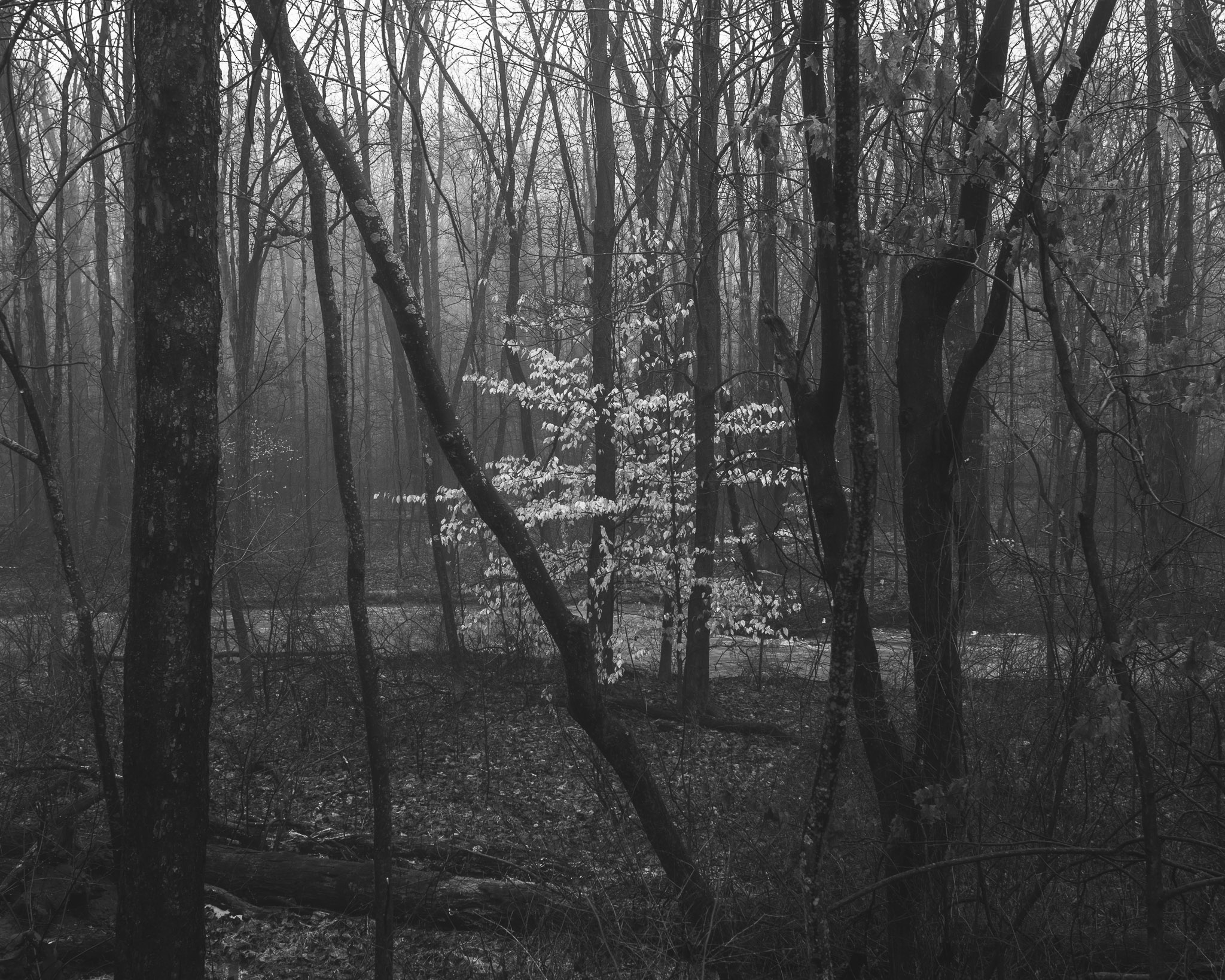 A black and white photograph made by fine artist Cody Schultz depicts a single, fully-leaved tree glistening a dull, off-white color amongst a forest full of barren, almost-black trees. The foggy atmosphere helps to make the glistening tree further stand out from the rest of the scene. A river runs through the middle of the scene.
