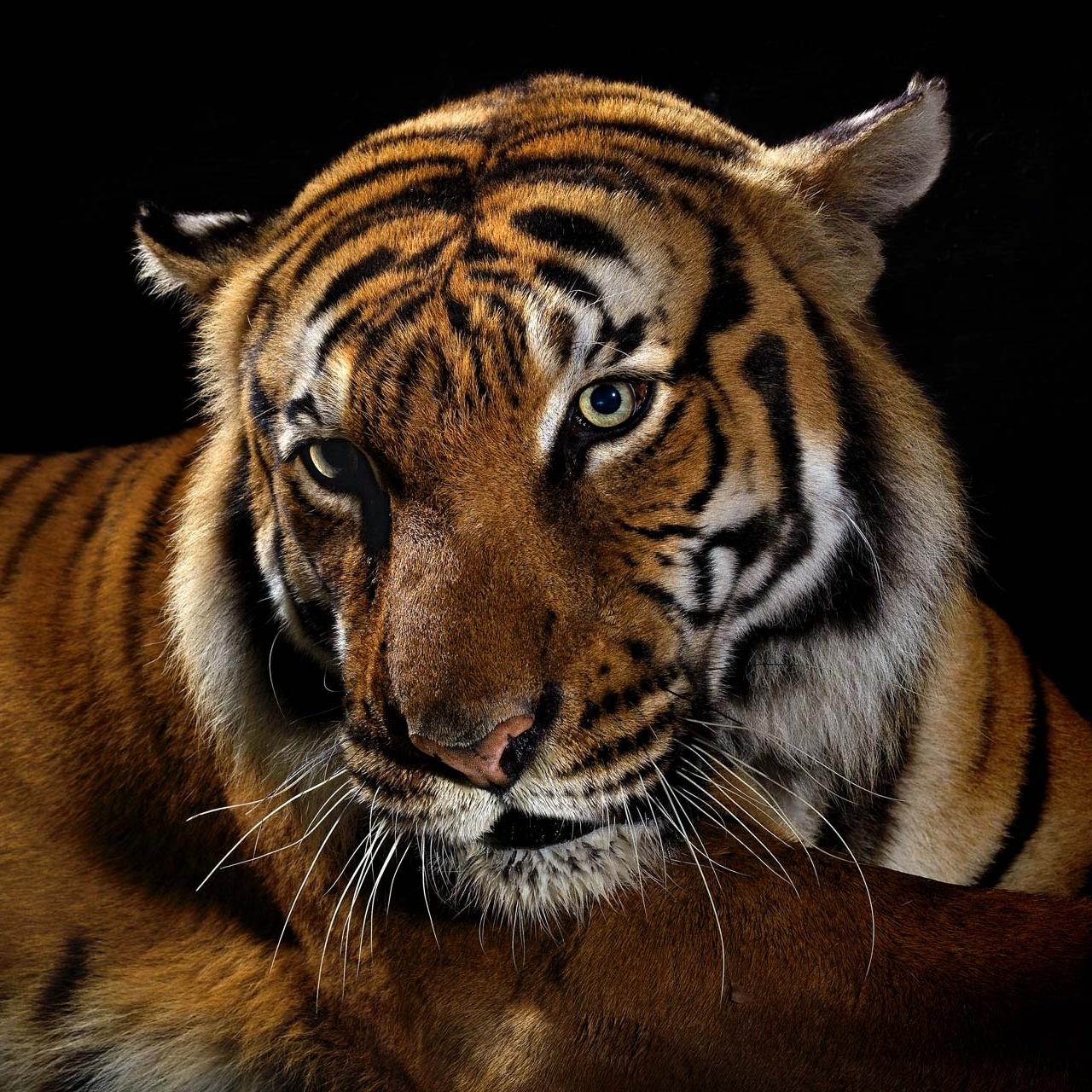 Musi_Tiger.jpg