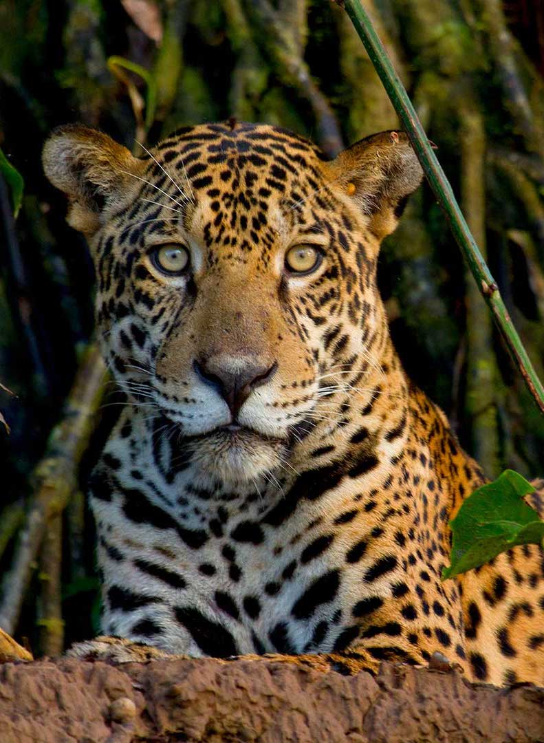 Jaguar portrait.jpg