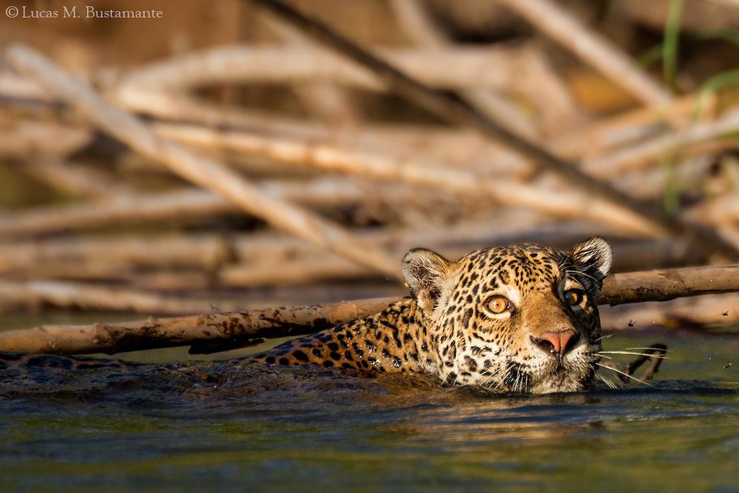 Jaguar - Lucas Bustamante (19).jpg
