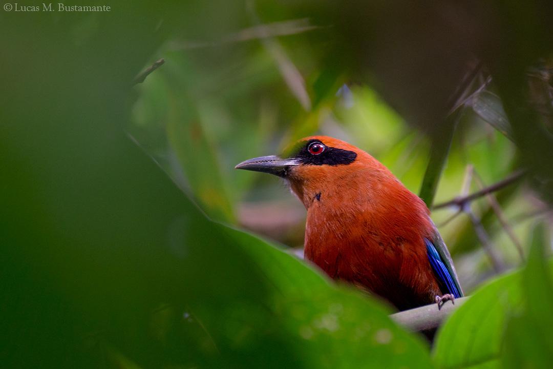Fauna - Birds - Lucas Bustamante (13).jpg