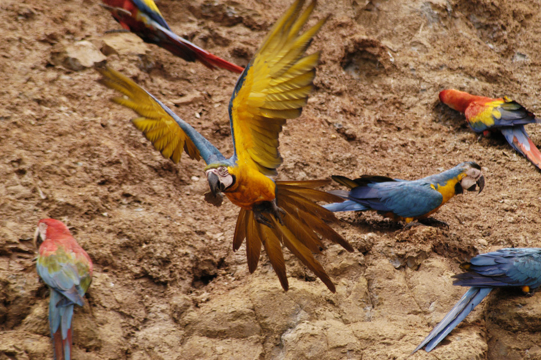 Fauna - Macaws and parrots - Mike Ritters (1).jpg