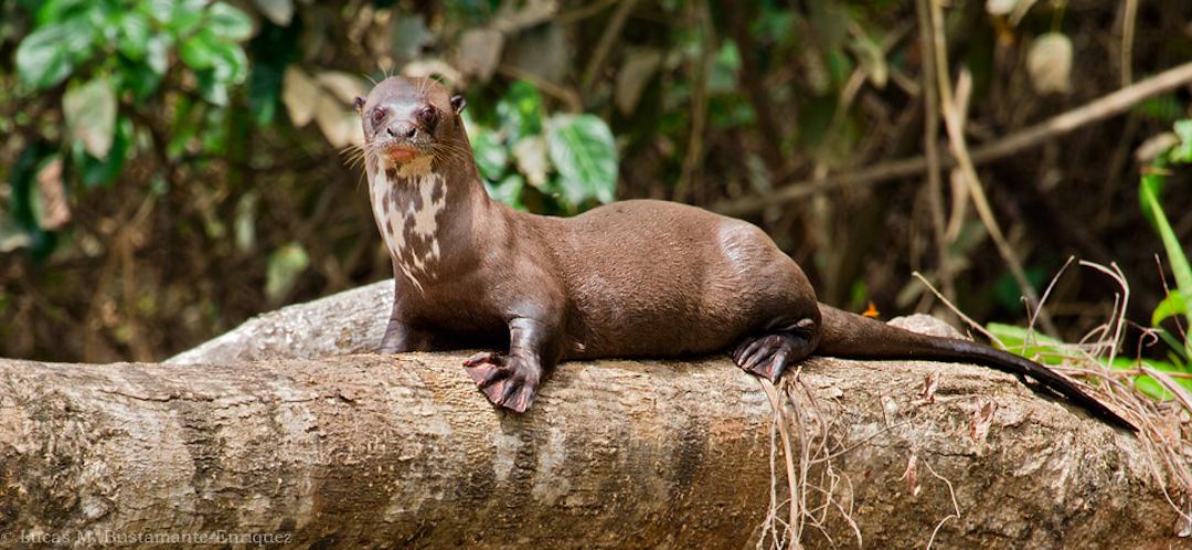 Fauna - Mammals - Lucas Bustamante (4).jpg