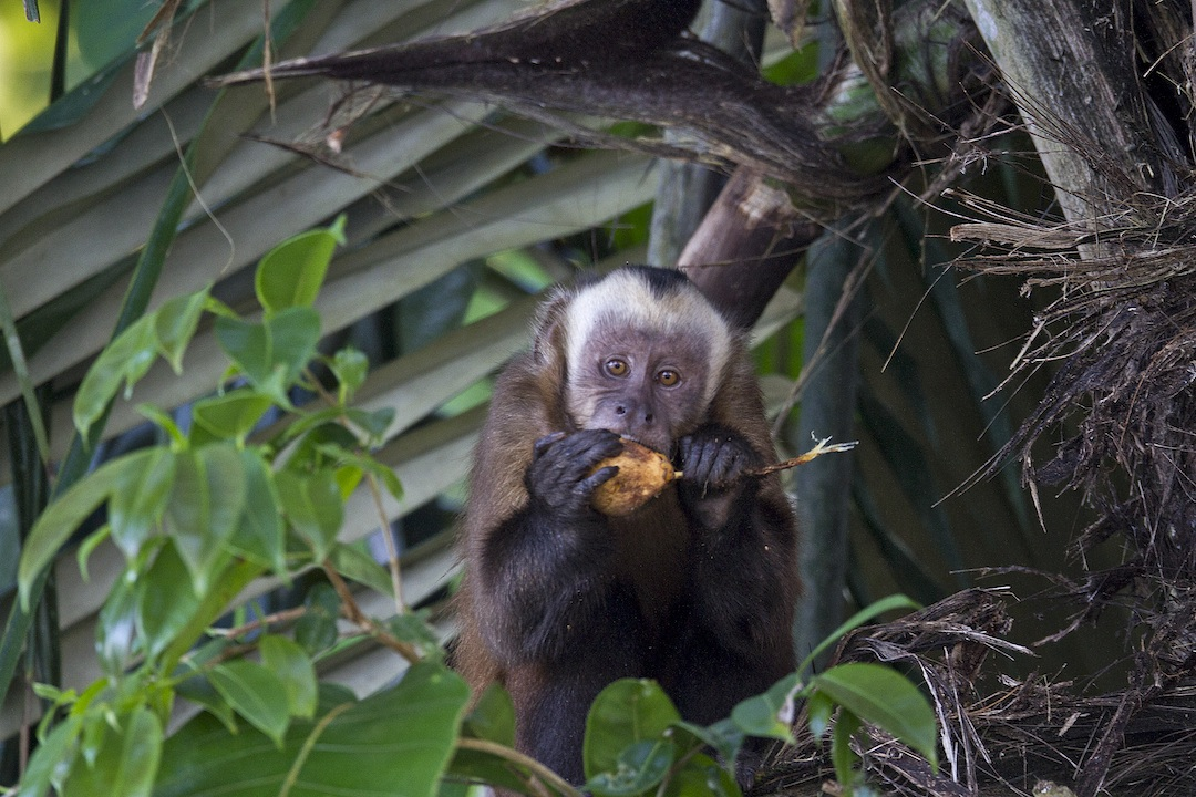 HR Brown Capuchin  - Jeff Cremer.jpg