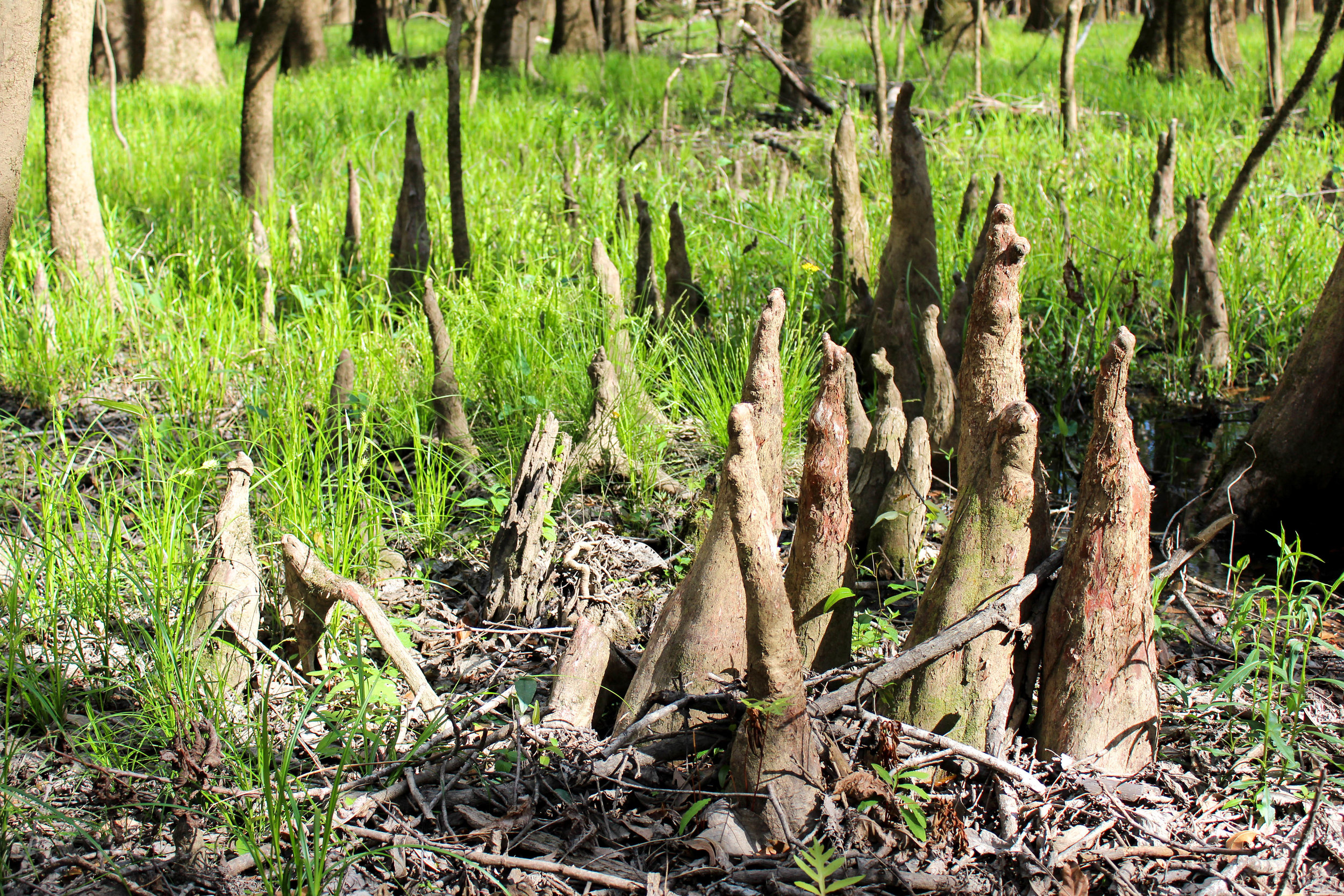 """knees"" of the Cypress trees"